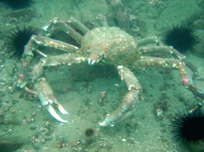 A Spider Crab Ready To Attack