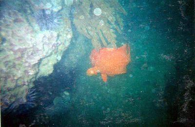 Garibaldi along a reef.