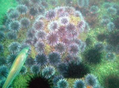 A Reef Covered With Sea Urchins