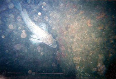 A rock fish.
