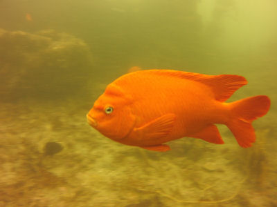 Another Garibaldi!