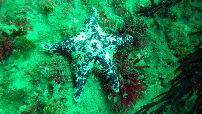 Spotted starfish.