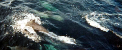 Dolphins swim along side of the boat.
