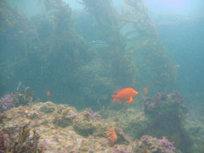 A Garibaldi Off 120 Reef