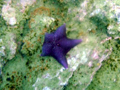 A very rare purple starfish.