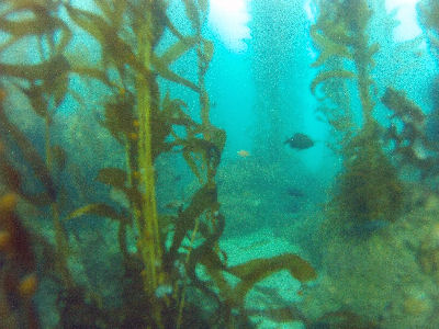 Inside the kelp forest.