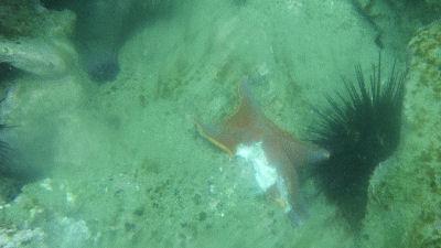 A half eaten star fish