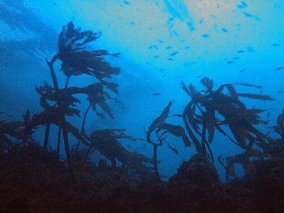 View through the kelp.