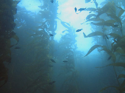 Looking up through the kelp.