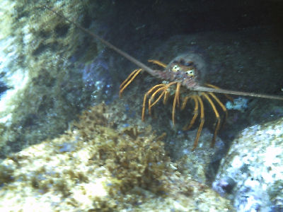 A lobster off of OML