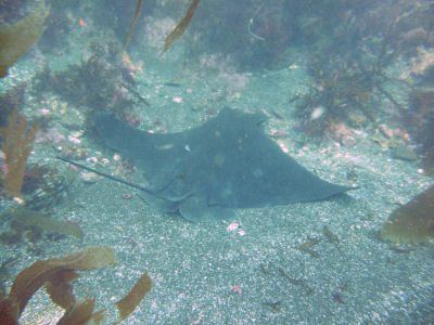 A Bat Ray sleeps... or just rests?