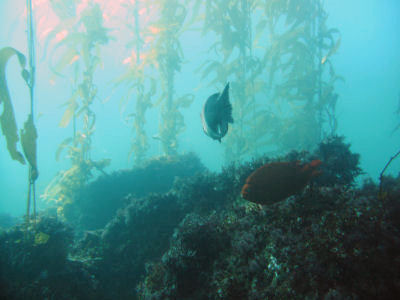 Kelp, fish and reefs of the Rookery, Santa Barbara Island