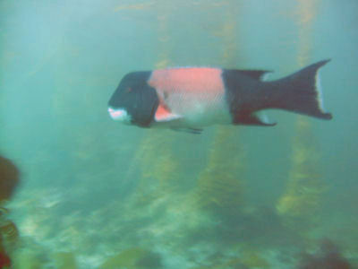 A sheephead off of Santa Barbara Island