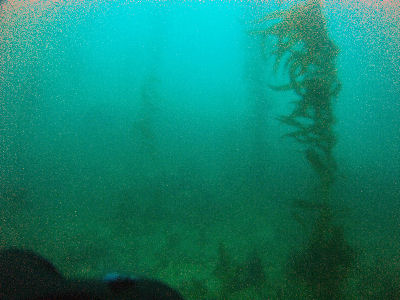 Kelp forest.