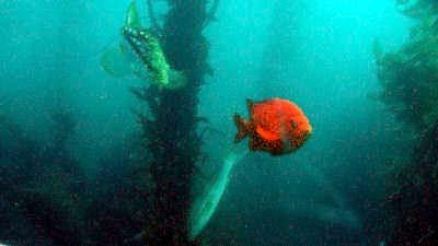 Garibaldi at Laguna Beach