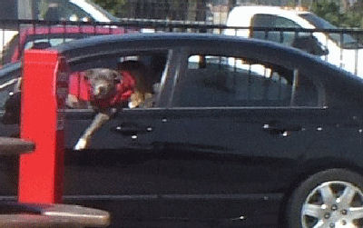 Dog ordering at drive through
