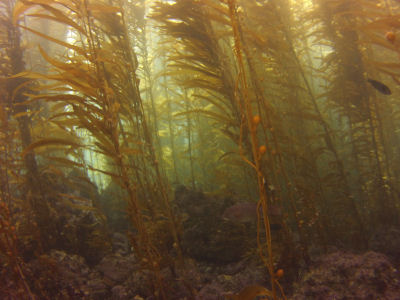 Kelp forest off of Sutil Island.