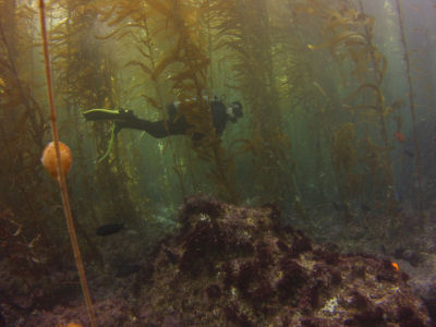 Another diver traverses the kelp maze.