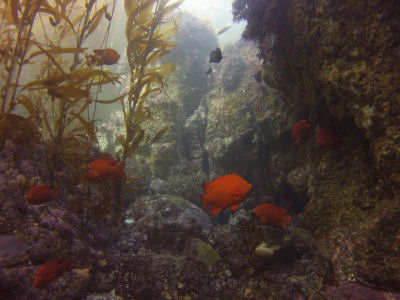 Garibaldi swim around the reefs off Sutil Island.