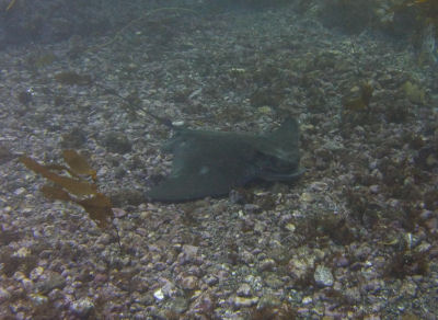 A Bat Ray sleeps on the ocean floor.