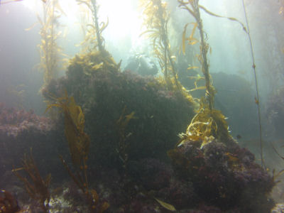 The South East Kelp Reef, Santa Barbara Island