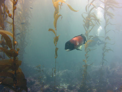 A sheephead off of  the South East Kelp Reef, Santa Barbara Island