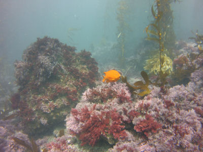 A Garibaldi off the South East Kelp Reef, Santa Barbara Island