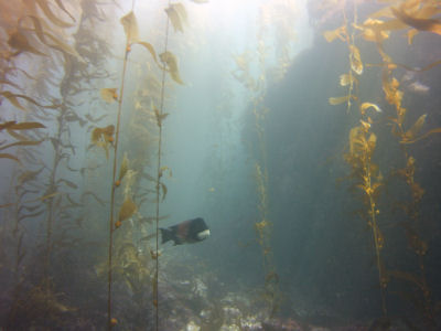 Sheephead in the Kelp Forest