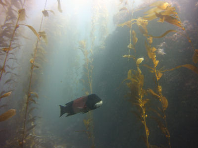Another Sheephead in the Kelp Forest