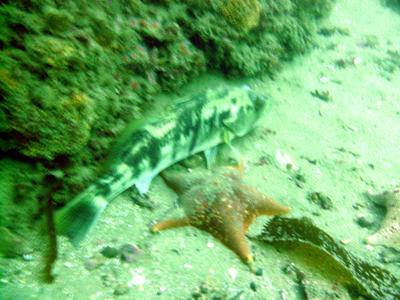 A lingcod pets a starfish.