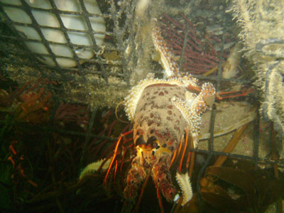 A starfish has consumed the tail of a rotting, dead lobster.
