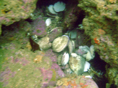Clam shells outside a hole - the sign of an octopus's dwelling.