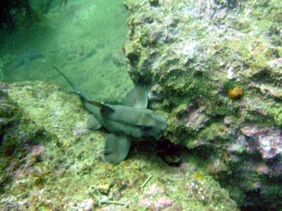 A deadly, man-eating horn shark awaits his next victim.