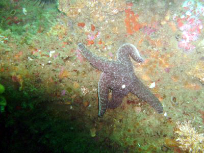 A starfish tries to hold on to the reef.