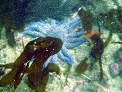 A sunstar hides behind some kelp.