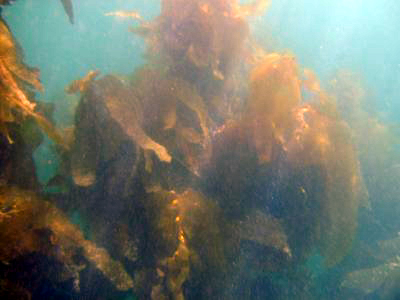 An abundance of kelp is returning to Long Point.