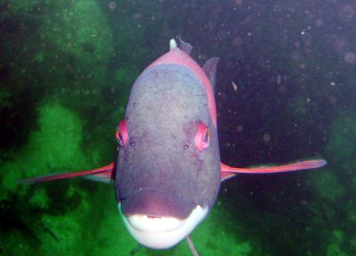 A Sheephead smiles for the camera.