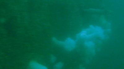 White sea anemone