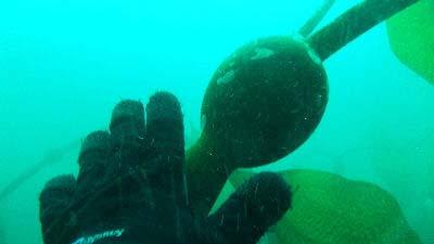 Huge kelp bulbs.
