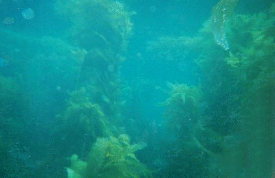 A kelp forest.