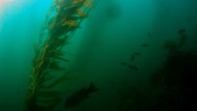 Going through the kelp.