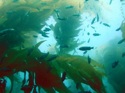 A kelp forest off of Ship Rock