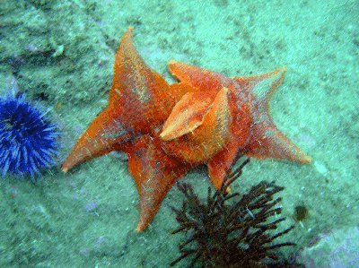Orange star fish embrace each other.