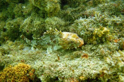 A rock fish, maybe sculpin?? hides on a reef.   Help me with the name!