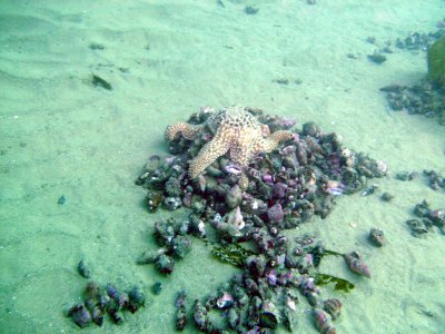 A starfish lays on top of his feast.
