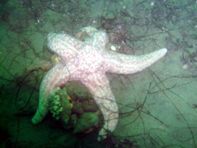 A starfish tries to make a meal out of a conch pile.