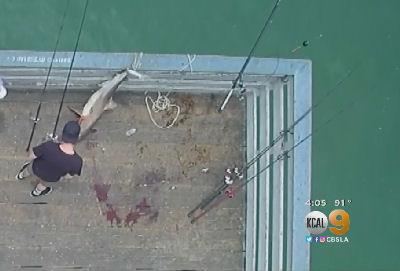 Shark caught off a pier