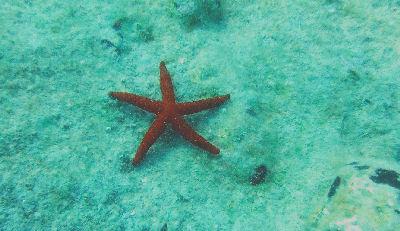 Albanian Starfish.