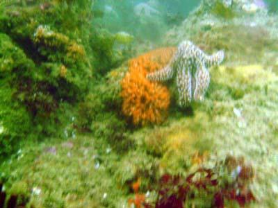 A starfish.