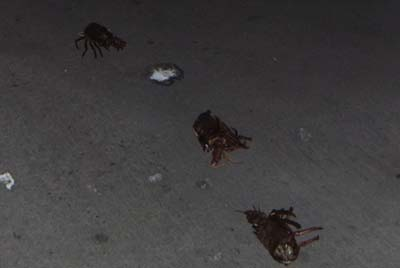 Disrespectful hunters leave lobster carapaces rotting on the pavement.